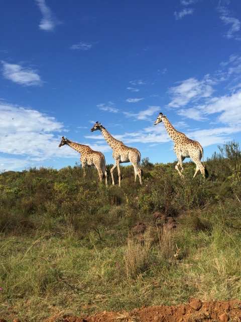 Game drives at Gondwana Game Reserve